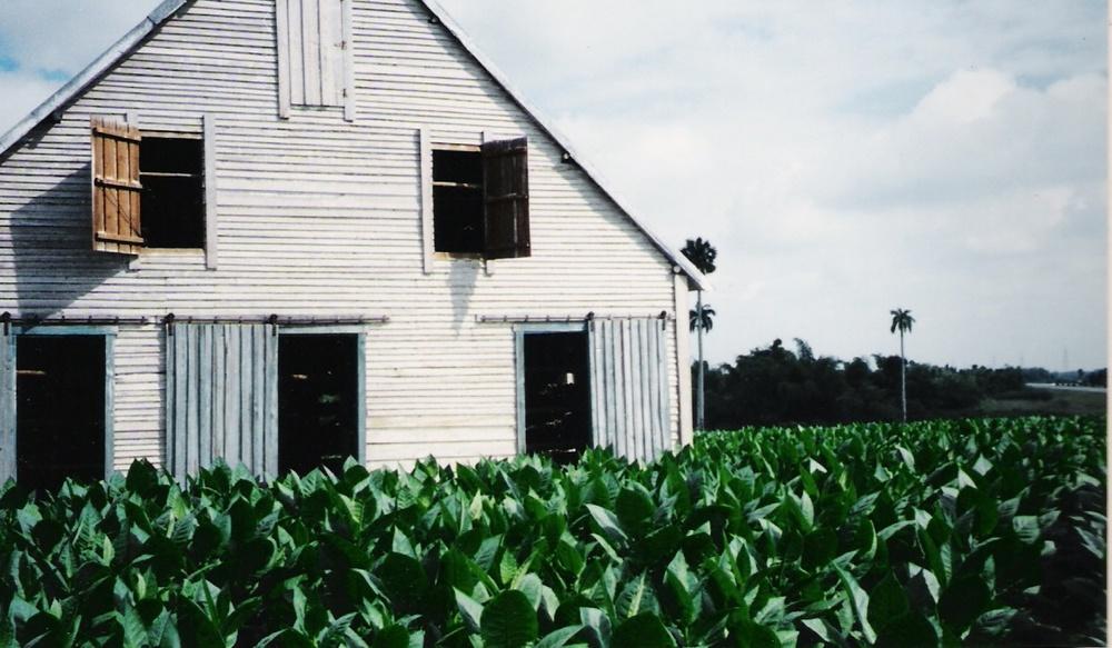 Cuba_tobacco fields