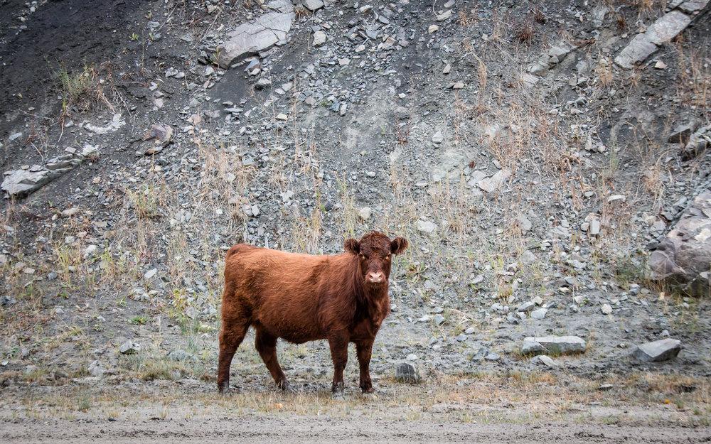 cow1 4.jpg