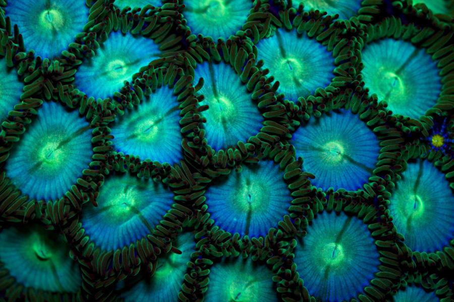 coralmorph