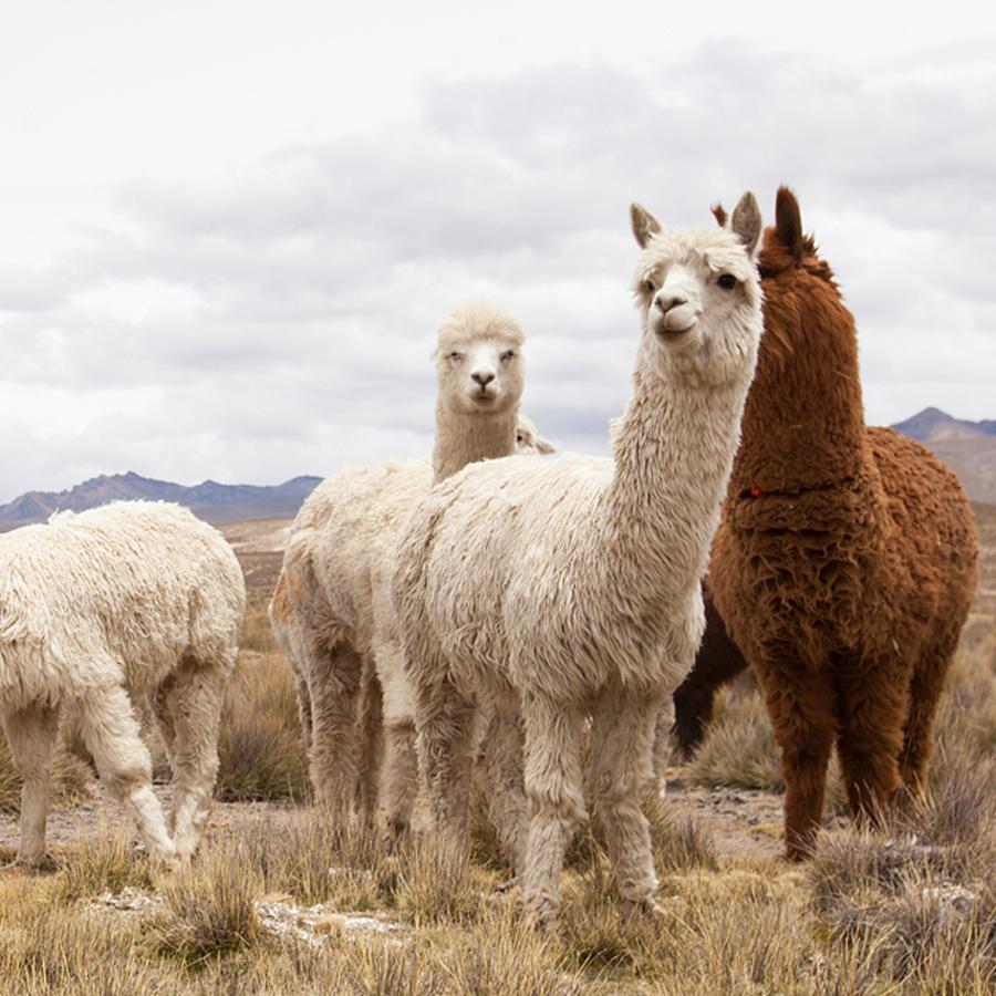 alpaca1post.jpg