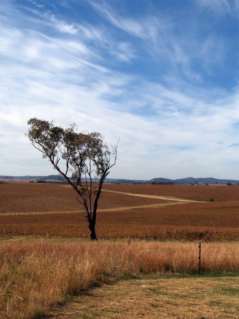 A lone eucalyptus tree in Orange wine country, New South Wales, Australia.