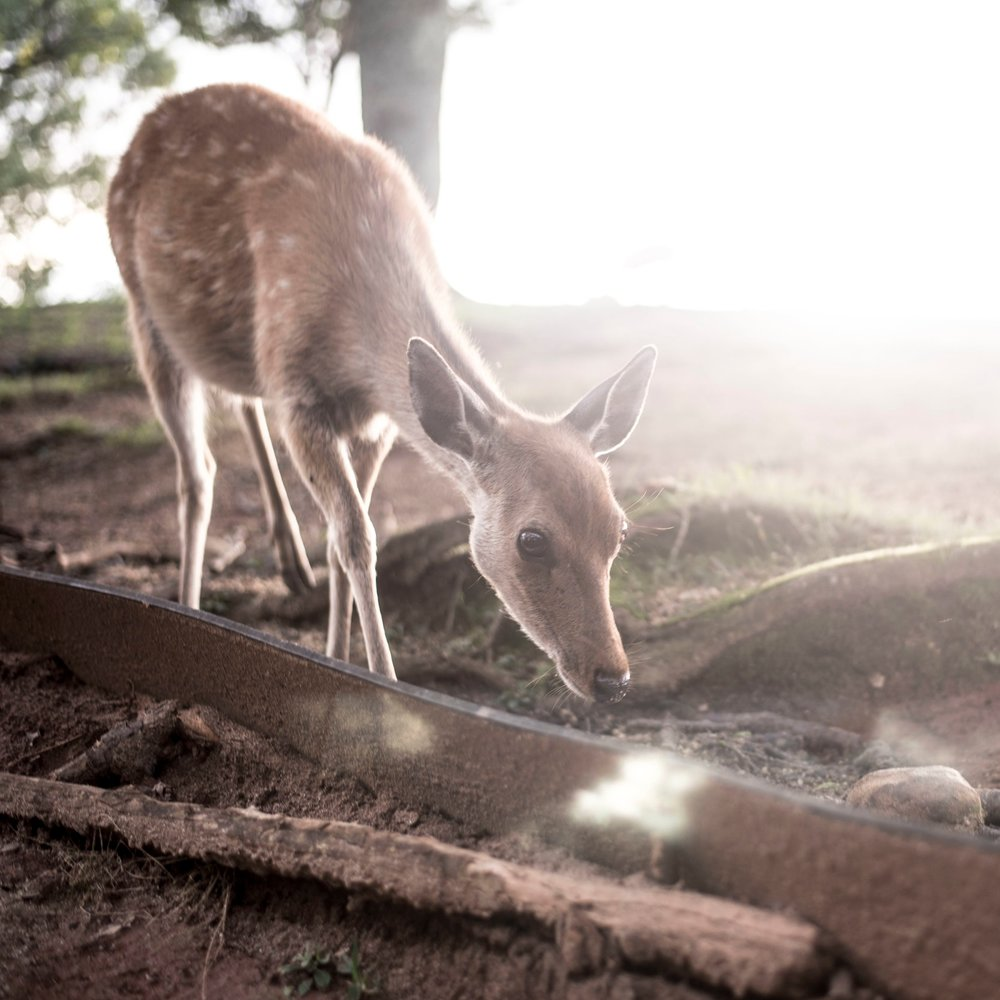 Nara Park, Japan - I love seeing animals but I'm also not a huge fan of zoos, so places like this where animals roam free but also peacefully coexist and even interact with humans is my idea of heaven… Read More