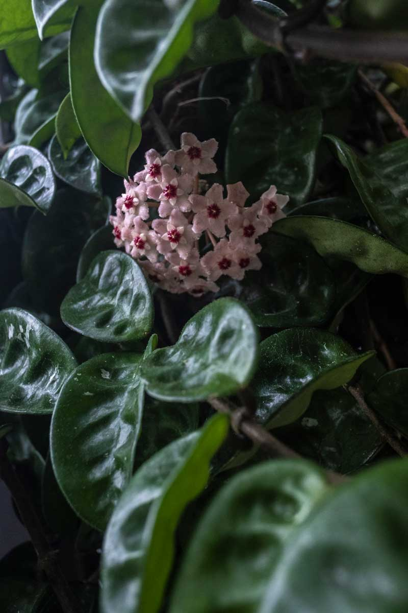 Hoya Carnosa  'Krinkle 8' - Apocynaceae