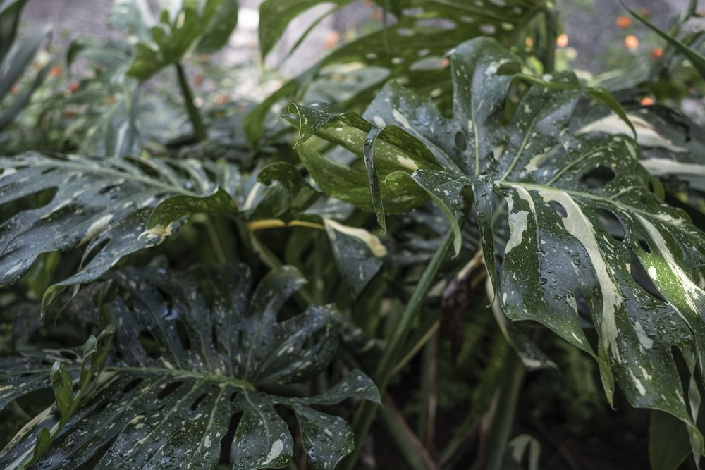 nestled in the courtyard just above the Bonsai garden is a MASSIVE thai constellation monstera variegata. I just love seeing houseplants outside loving life. I can't imagine how huge the pot this guy is in must be!