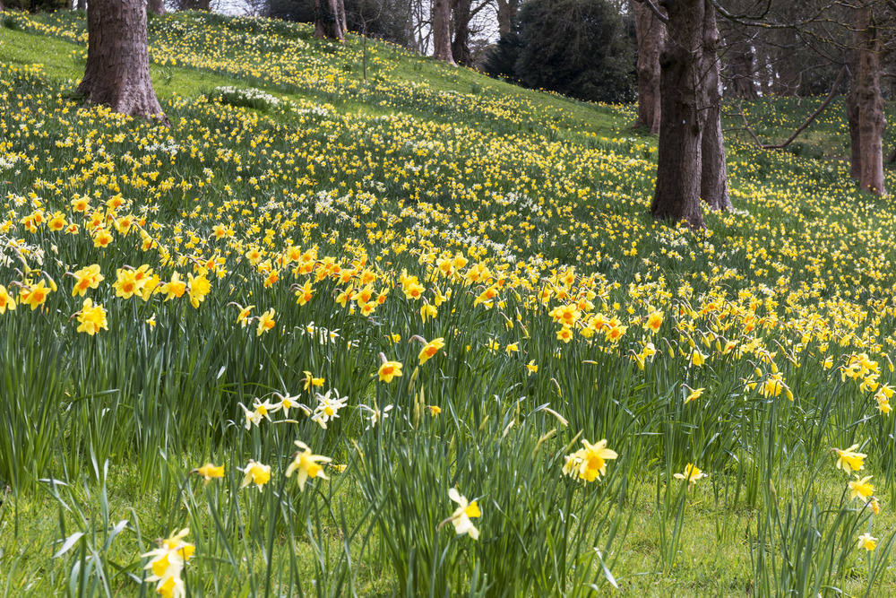 There are currently so many daffodils out! There was a field of them.