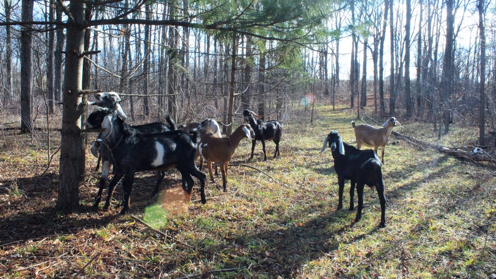The forest at Silver Hoof Farm is foraged almost daily by the goats, that's why the trees are so bare. The goats will eat any leaves they can reach!