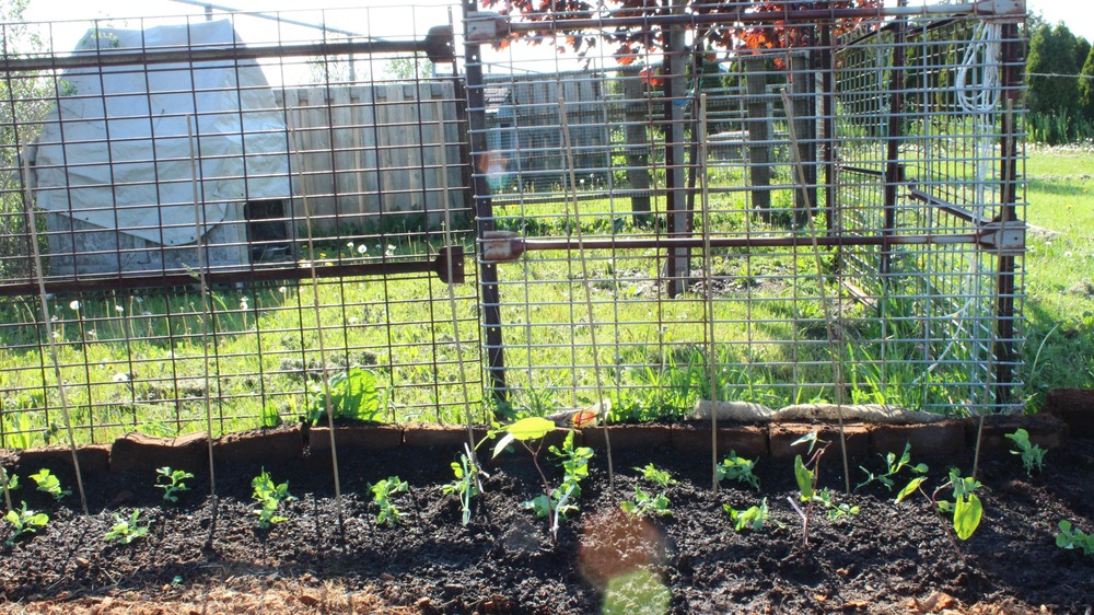 Pea plants staked out because they need lots of support.