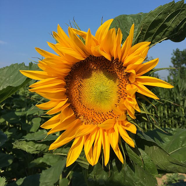 We're so excited for the farm hop tomorrow! Swipe for some simple rules for the event. Be sure to pick up a wristband at any location!  Tag your photos with #manyfeathersfarmhop to share with us 🌻  P.S. You'll also be able to buy farm fresh goods & flowers so bring cash! 💸