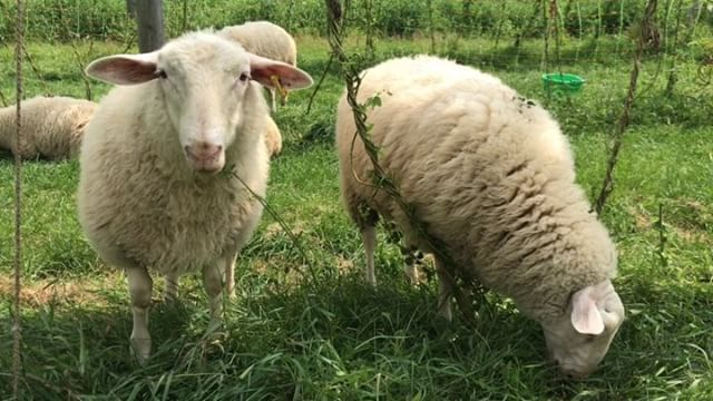 You can't NOT love these faces. Here at @goodlot.beer only for their grass mowing skills, these sheep are excellent farm hands. Come meet them at Goodlot until 5pm. #manyfeathersfarmhop #farmhop