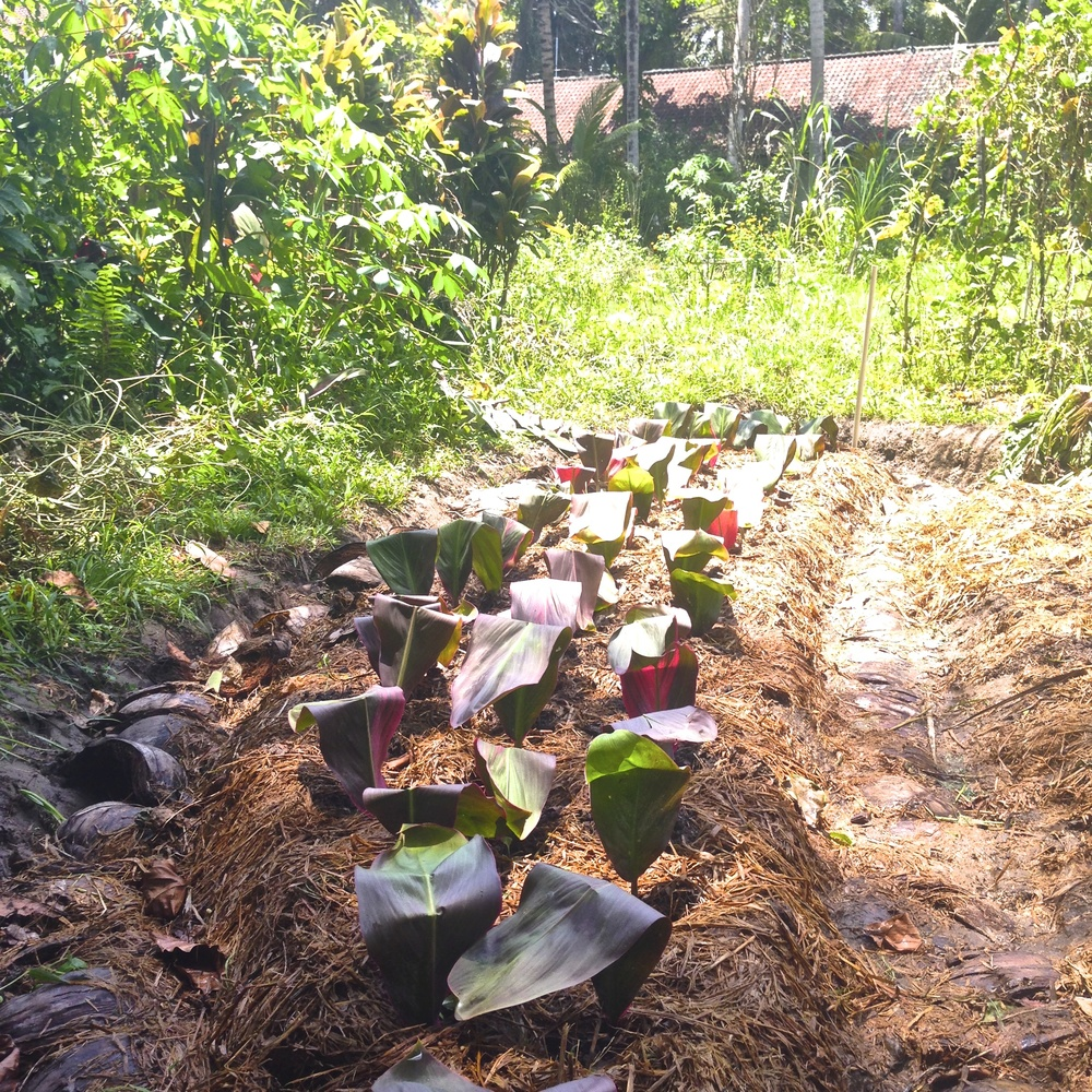 Lettuce that I planted at Jiwa Damai in their permaculture garden.  I also planted peanuts, which have been growing quite well.  Just some Karma Yoga to give back to the beautiful land that I have been fortunate enough to stay at.  Thanks to the farmers Cedric, Fendi & Gede, you guys are the best!