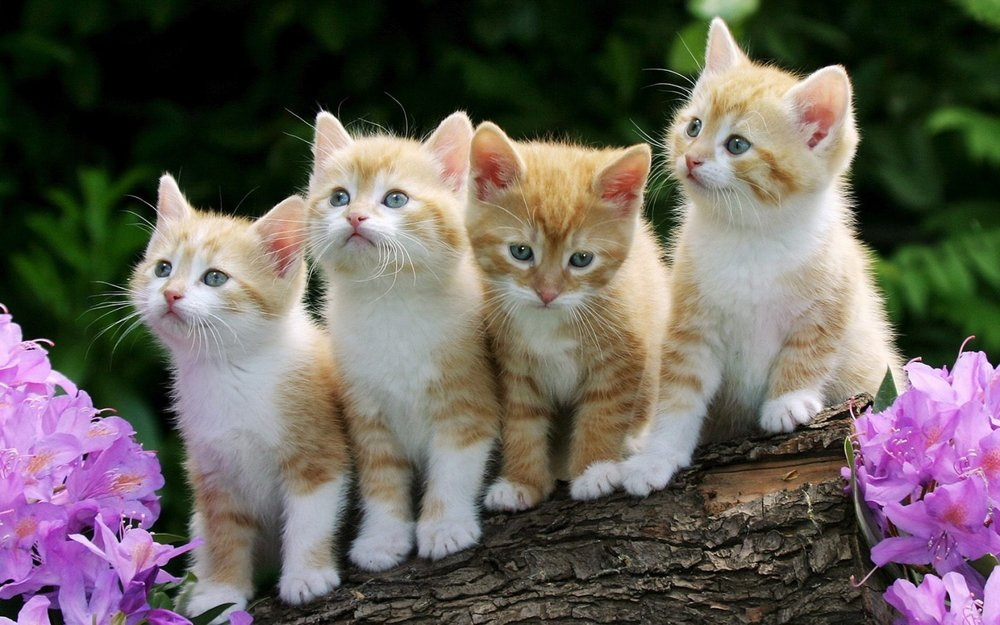 4_Cute_Cats_Wallpaper_1440x900_wallpaperhere.jpg