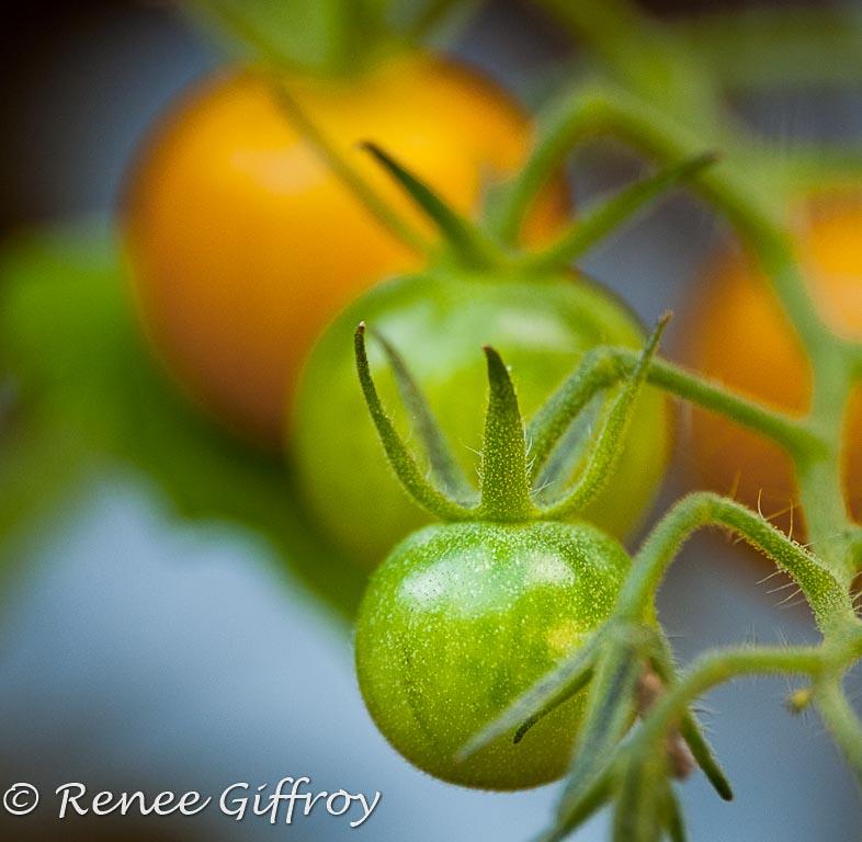 Tomatoes watermark-1.jpg