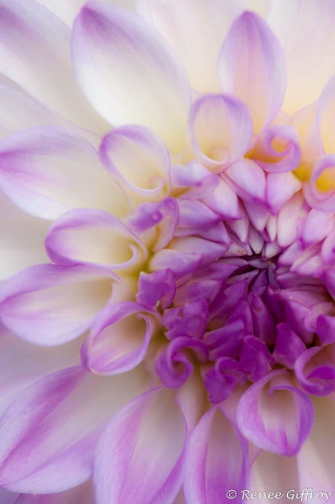 zinnia watermark -1.jpg