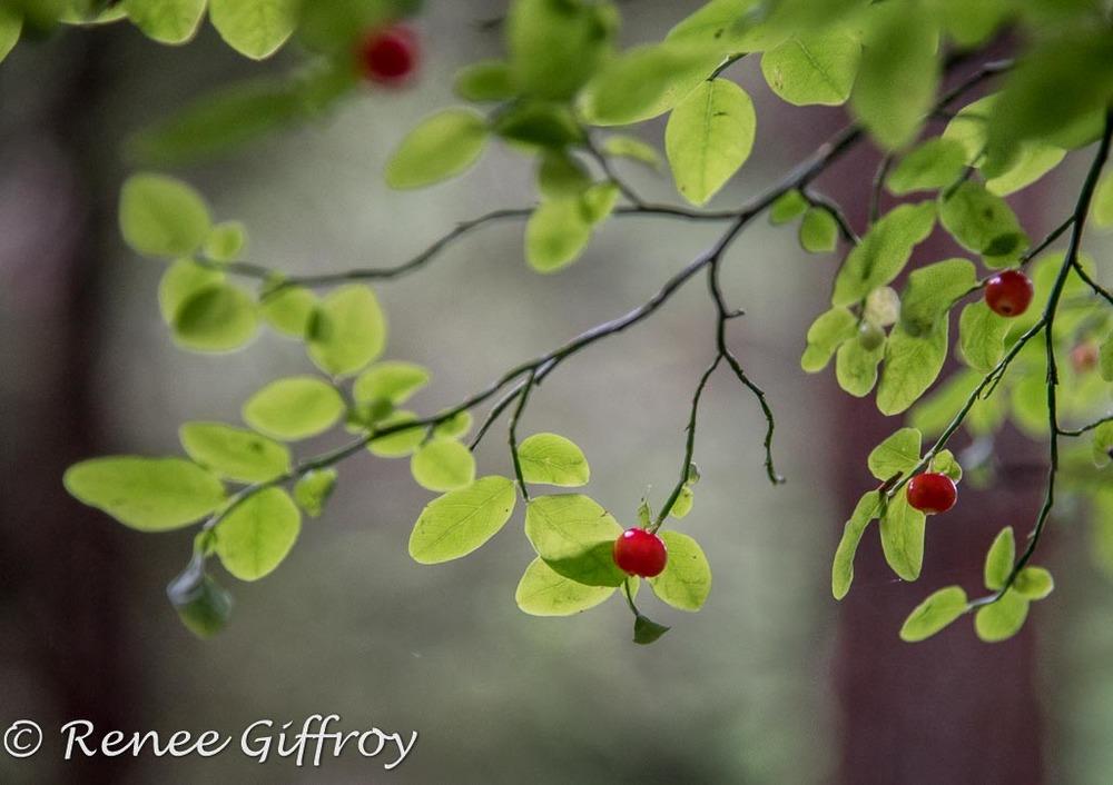 Forrest berries watermark-1.jpg