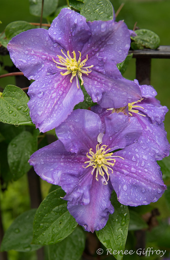flower purple with watermark-1.jpg