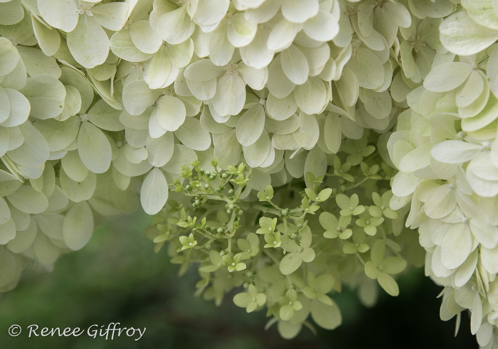 flower Hydrangea white with watermark-1.jpg