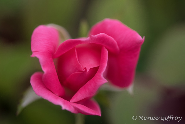 Rose Bloom for web-1.jpg