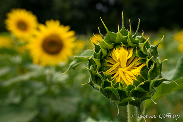 Sunflower bud 2 for web-1.jpg