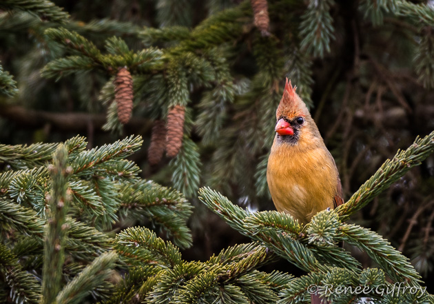 Northern Cardinal, female