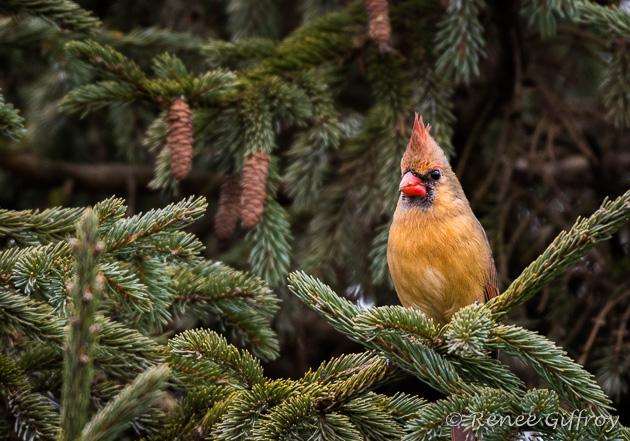 Northern Cardinal, female