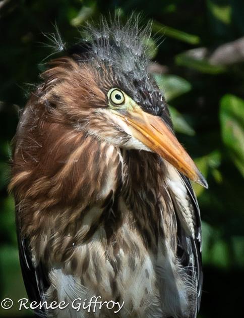 Green Heron, juvenile