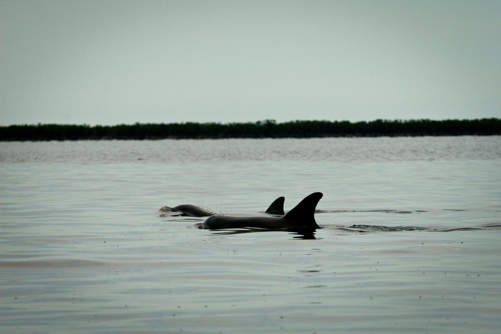 Dolphins, Isla de la Juventud, Cuba