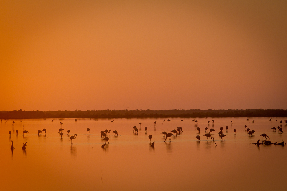 Flamingoes at first light near Cayo Cruz, Cuba