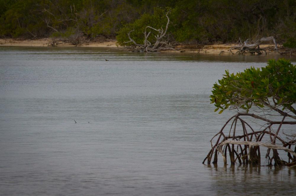 Tailing Bonefish, Cayo Cruz, Cuba