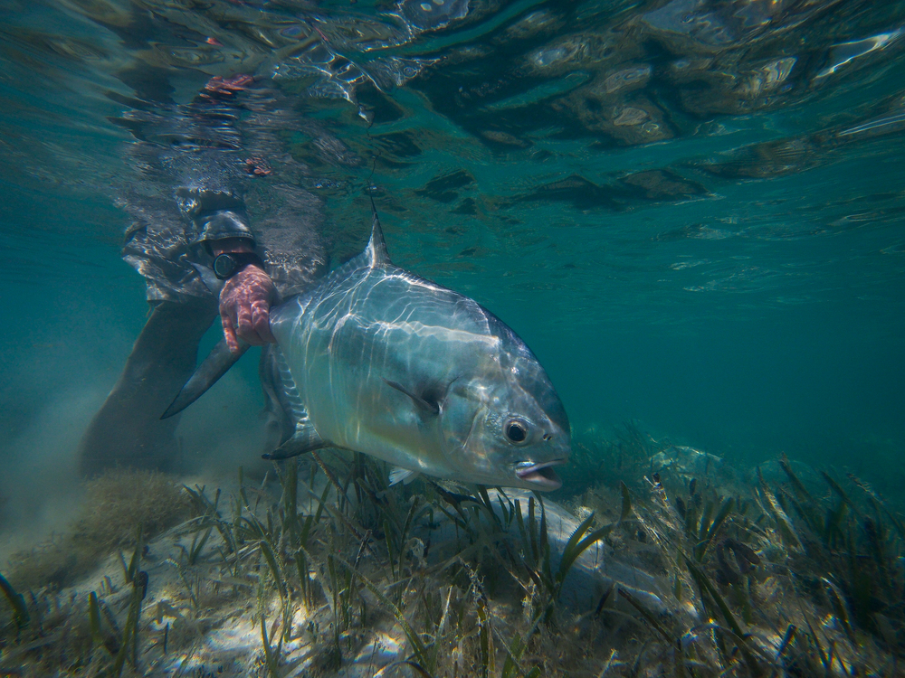 Underwater view of a Permit being released, Cayo Largo, Cuba