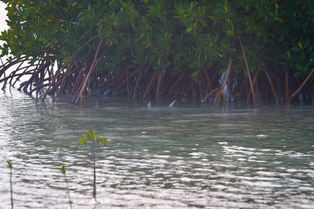 Tailing Bonefish near mangroves, Cayo Largo, Cuba