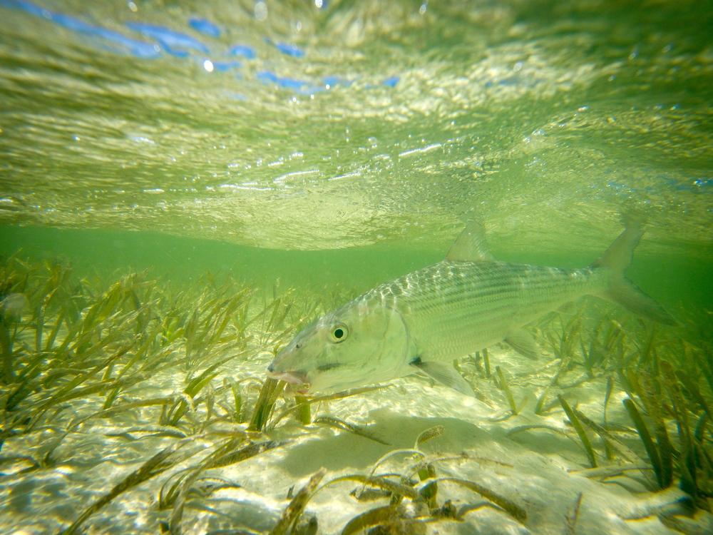 Beautiful underwater world of a Cuban Bonefish, Cayo Cruz, Cuba