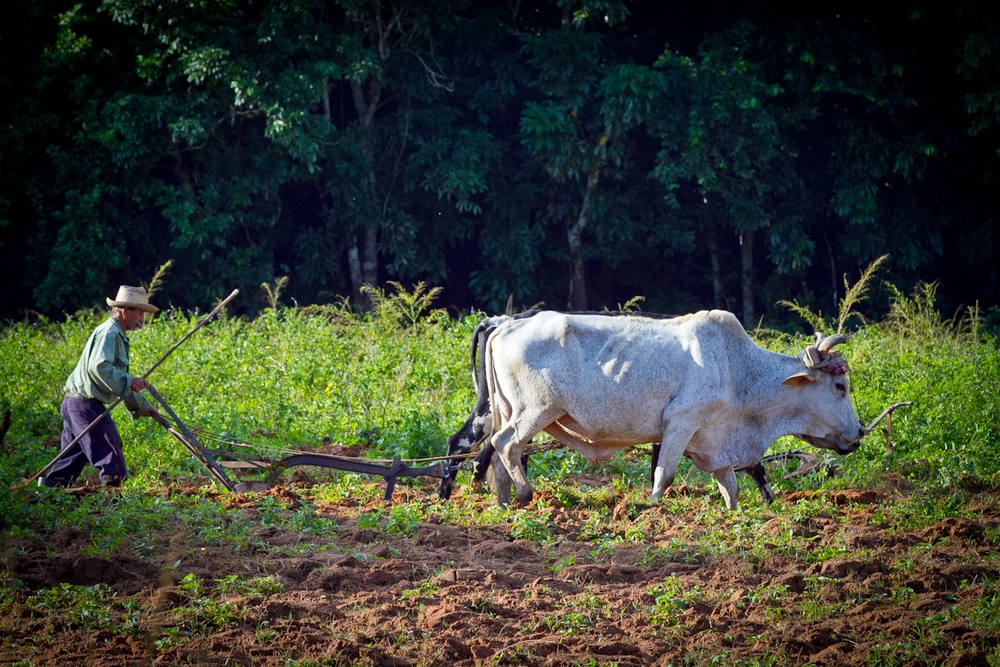 Farmer plows his field with oxen, Vinales, Cuba