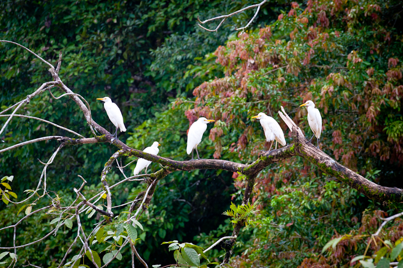 White Herons, Jungle Tarpon, Costa Rica
