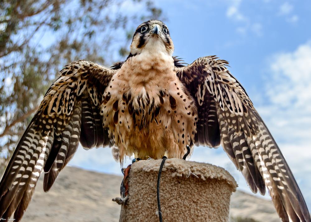 falcon-2.jpg