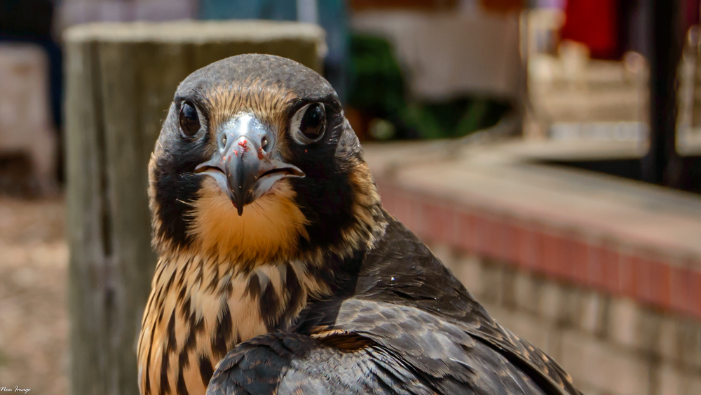 falcon-5.jpg