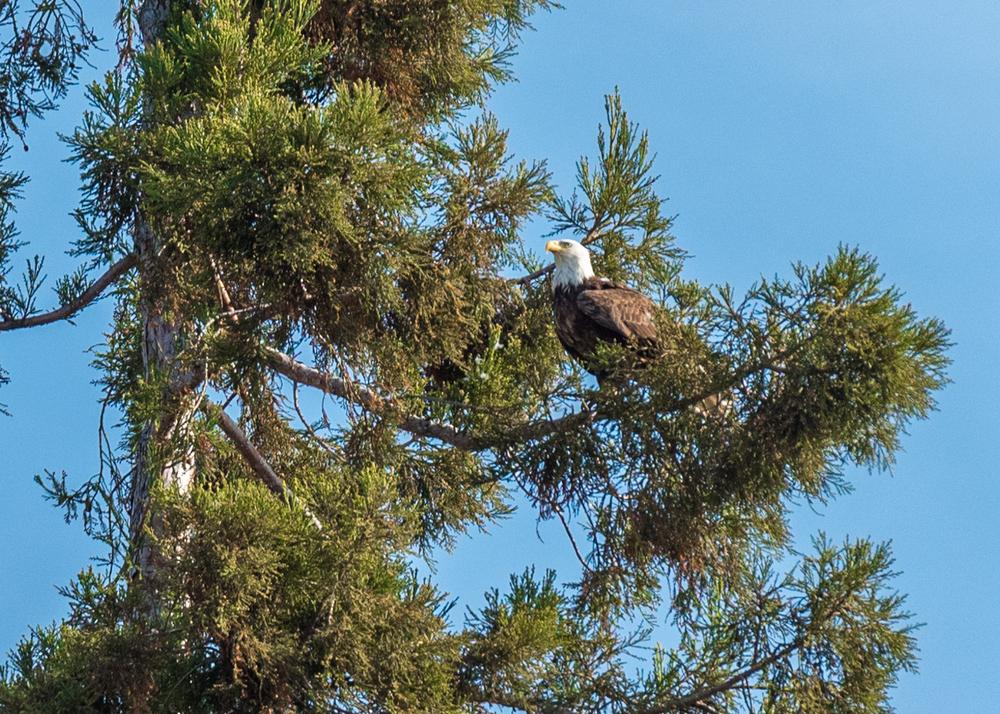 bald eagle-4.jpg