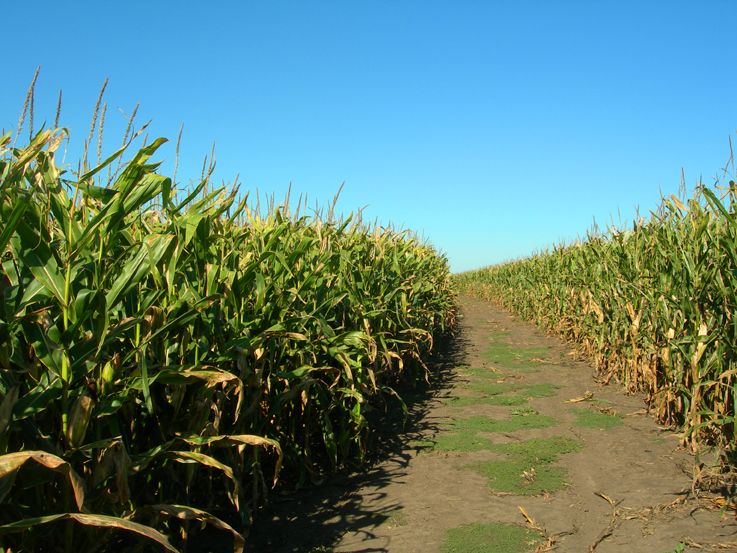 Pathway through the corn