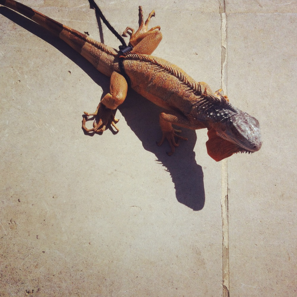 Iguana on a leash / Hermann Park