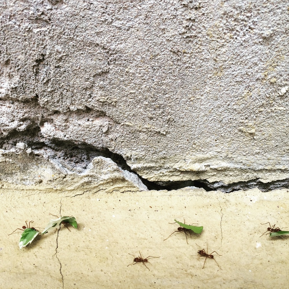 leaf cutter ants v. hibiscus tree