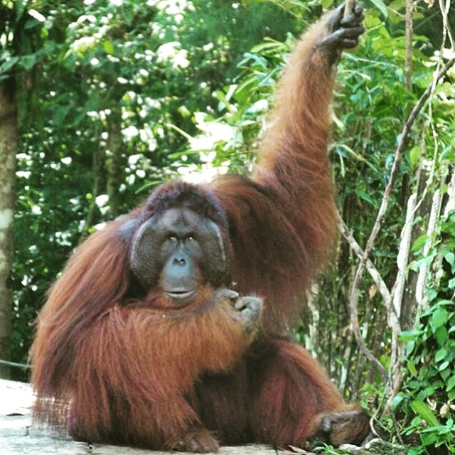 Kids will love visiting the gorgeous orangutans in Borneo