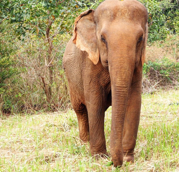 Beautiful rescued elephant, Sambo