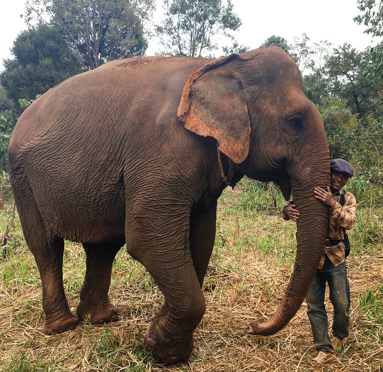 Rescued ele Sambo and her Mahout