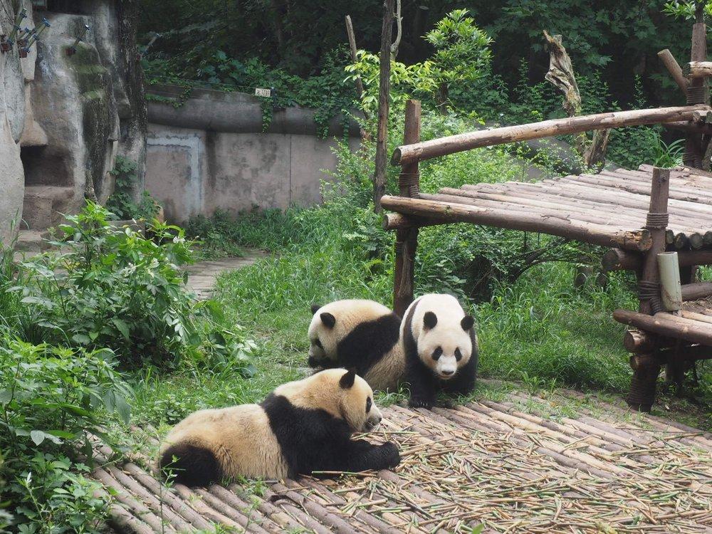 Pandas pandas everywhere at the Chengdu Panda Research base