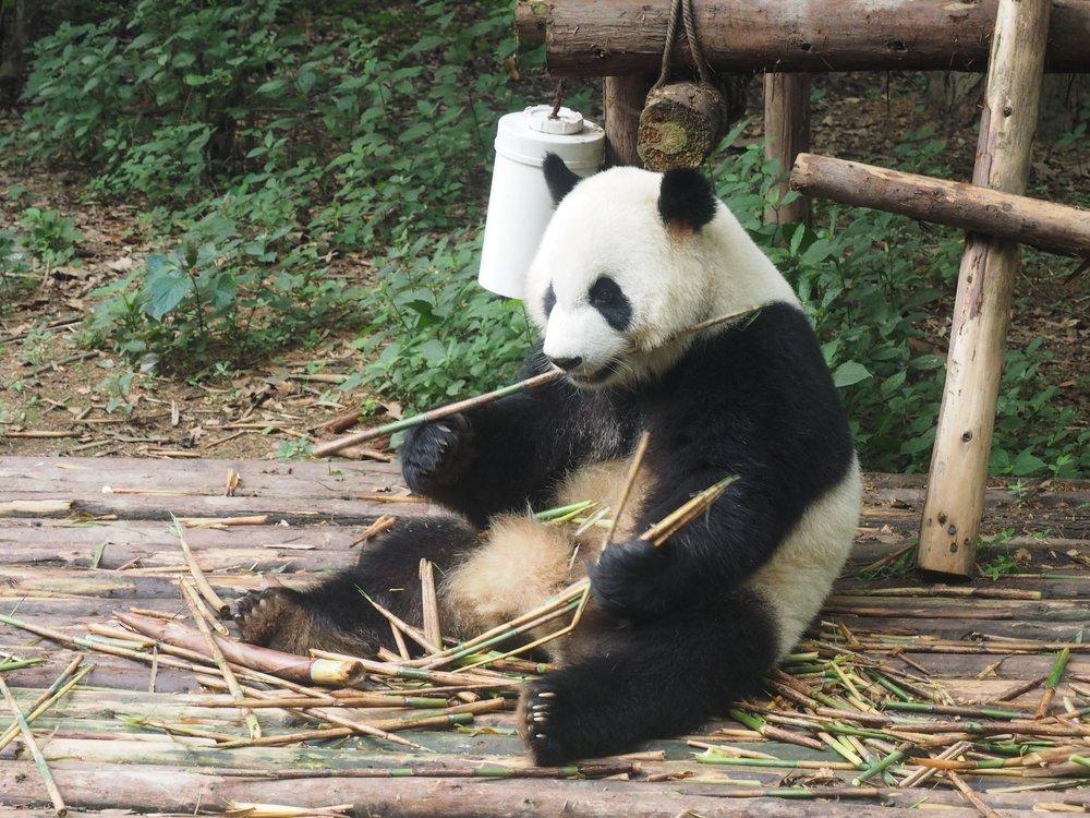 visit pandas in chengdu