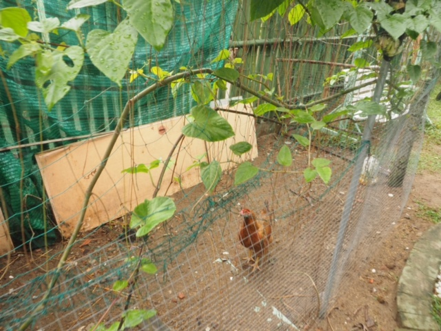 Happy chickens at school - the kids get to look after them and they roam free in the schoolyard