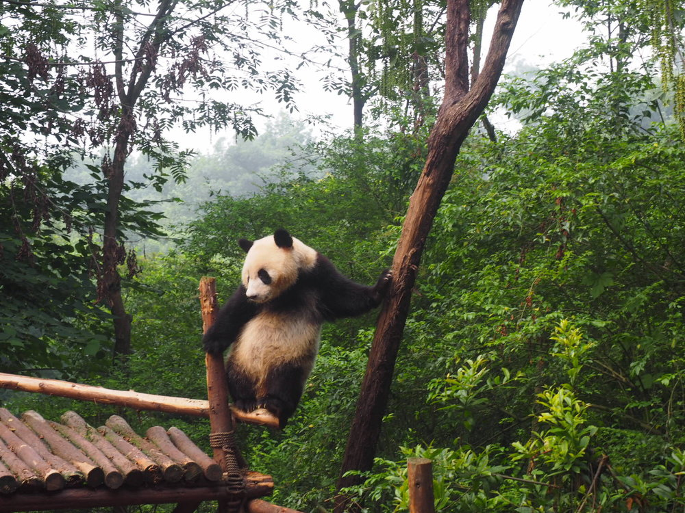 Make sure to check out the pandas in Chengdu China