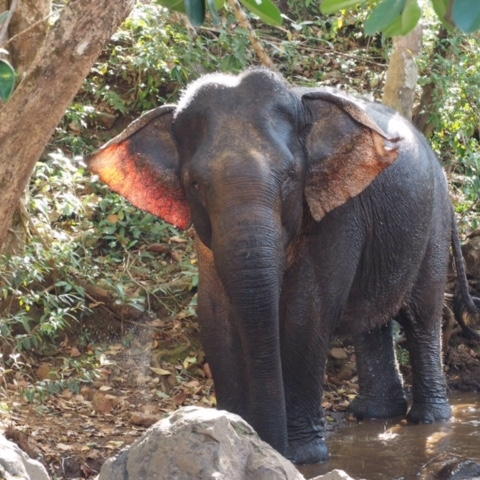 This eles amazing ears are thin and webbed with blood vessels that help cool their entire body