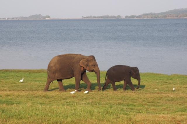 mummy and baby elephant in Minneriya National Park