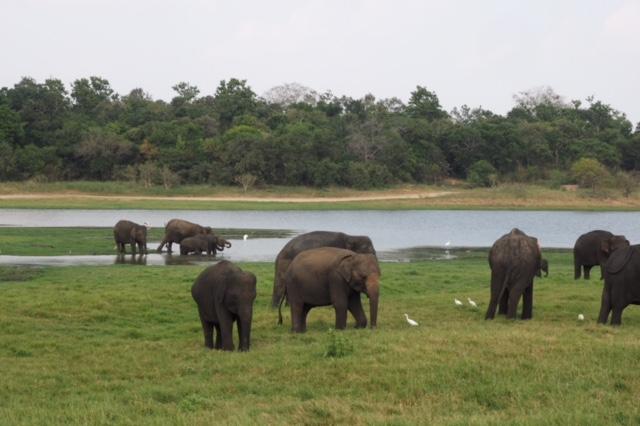 Amazing elephants in Sigiriya