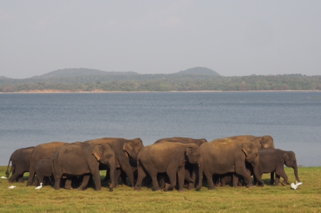 So so amazing! Wild elephants in Sri Lanka